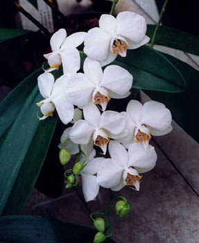 Phalaenopsis amabilis. Photo : Alain Brochart